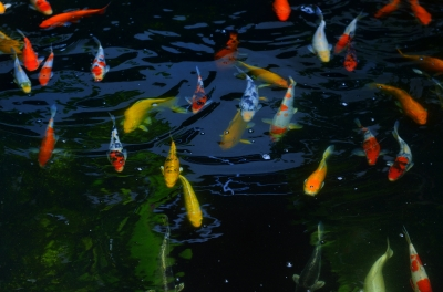 """Fancy Carp Fish"" by holohololand /FreeDigitalPhotos.net"